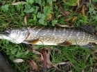 12lbs 2oz Pike from river idle. got this today one of three 12lb 20z , on deadbait mackrell...