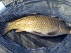 4lbs 8oz Common Carp from Tackeroo using Pyramid tutti frutti.