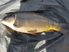 Glyn Jones 10lbs 13oz Mirror Carp from Turf pool using Mainline Cell.