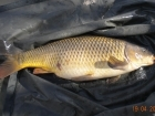 Glyn Jones 11lbs 14oz Common Carp from Turf pool using Mainline Grange CSL.