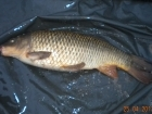 6lbs 7oz Common Carp from Turf pool using Mainline Grange CSL.