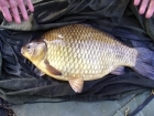6lbs 14oz Crusian Carp Hybrid from The Bridge Inn, Lenwade. Caught on mult maggot on size 12 hook with maggot feeder