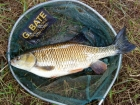 Aaron Whiteside 4lbs 2oz Chub from River Penk. Caught from under a raft using freelined bread.