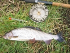 1lbs 3oz Grayling from River Dove. Caught long trotting red maggots. Used 13 foot Shimano Float rod, JW Youngs Centrepin, 3lbs line to 1.5lbs bottom & size 20 hook.