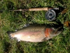 9lbs 4oz Rainbow Trout from Lechlade Trout Fishery using Home tied green epoxy buzzer.. Caught casting to a crusing fish. Using a SAGE XP rod, Scientific Anglers reel, Cortland 333 floating line, 12